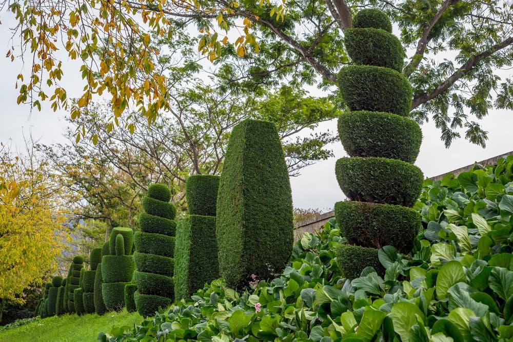 thuja varieties pruned into various shaped columns