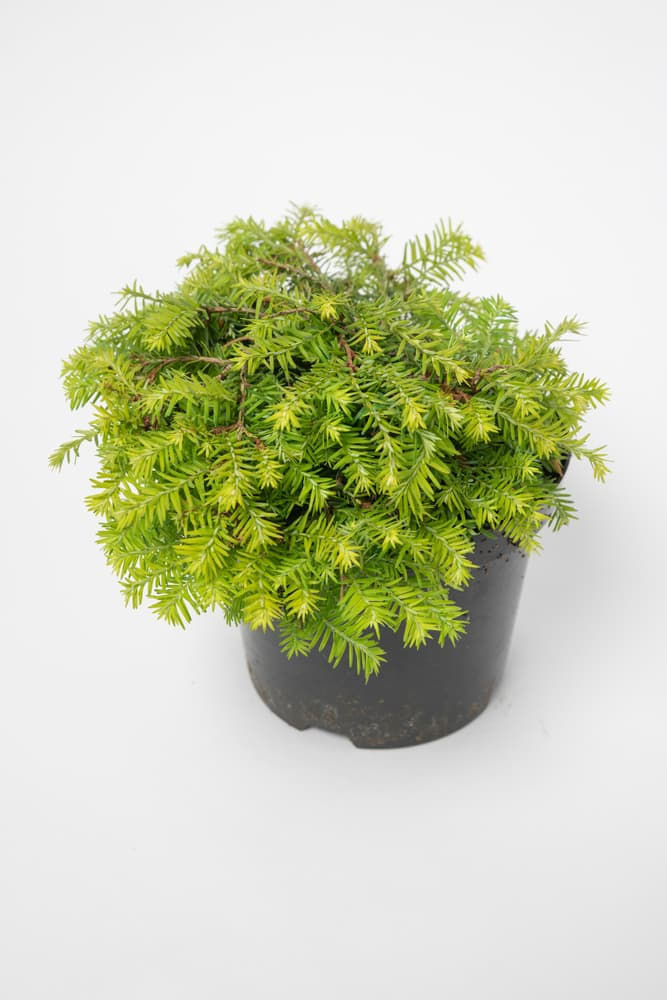 Tsuga canadensis in a black plastic pot on a white background
