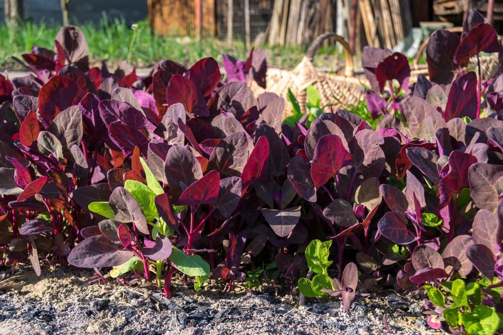 Red orach plants in a vegetable garden