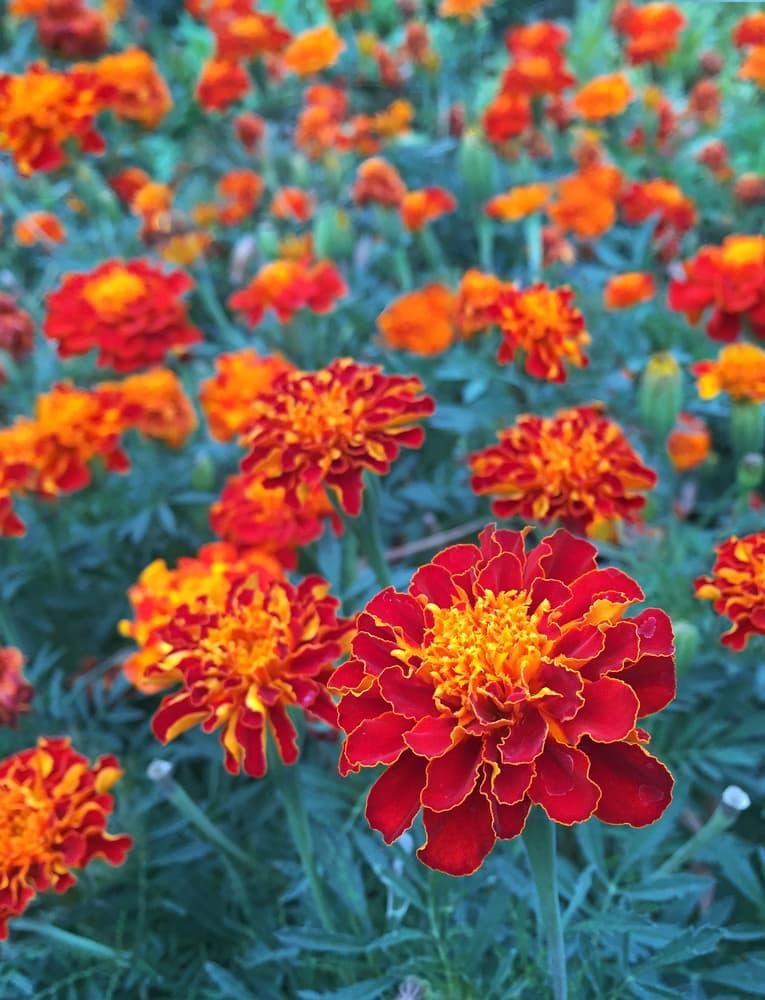 red safari scarlet marigold flowers