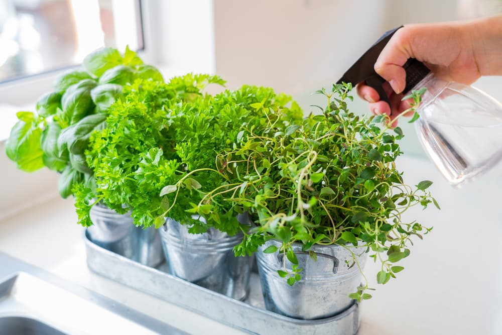 Pots of herbs with basil, parsley and thyme being watered by a sprayer