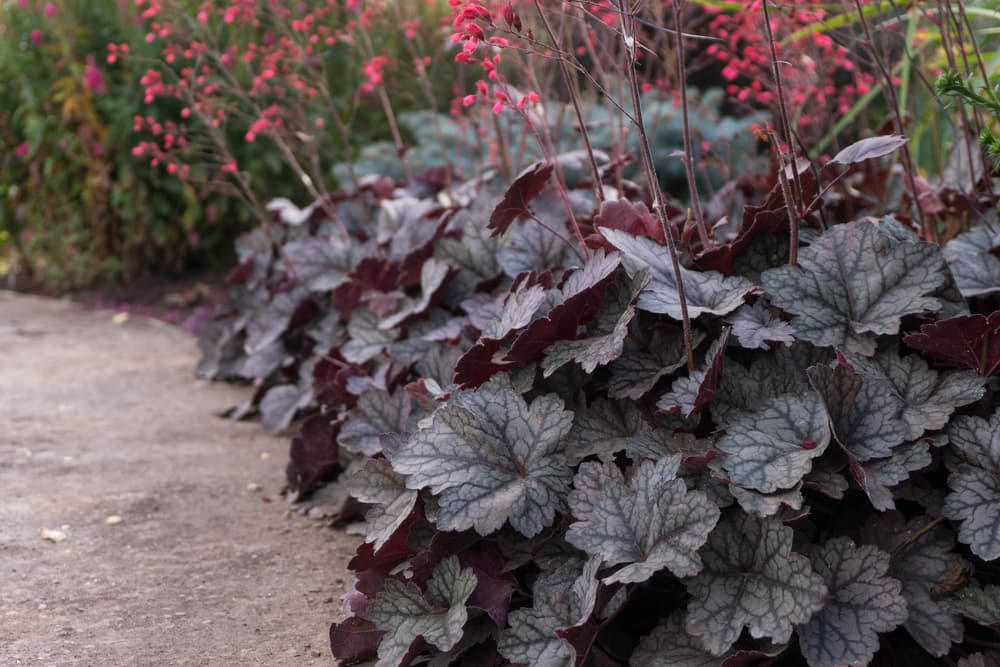 purple alum root foliage in a garden space