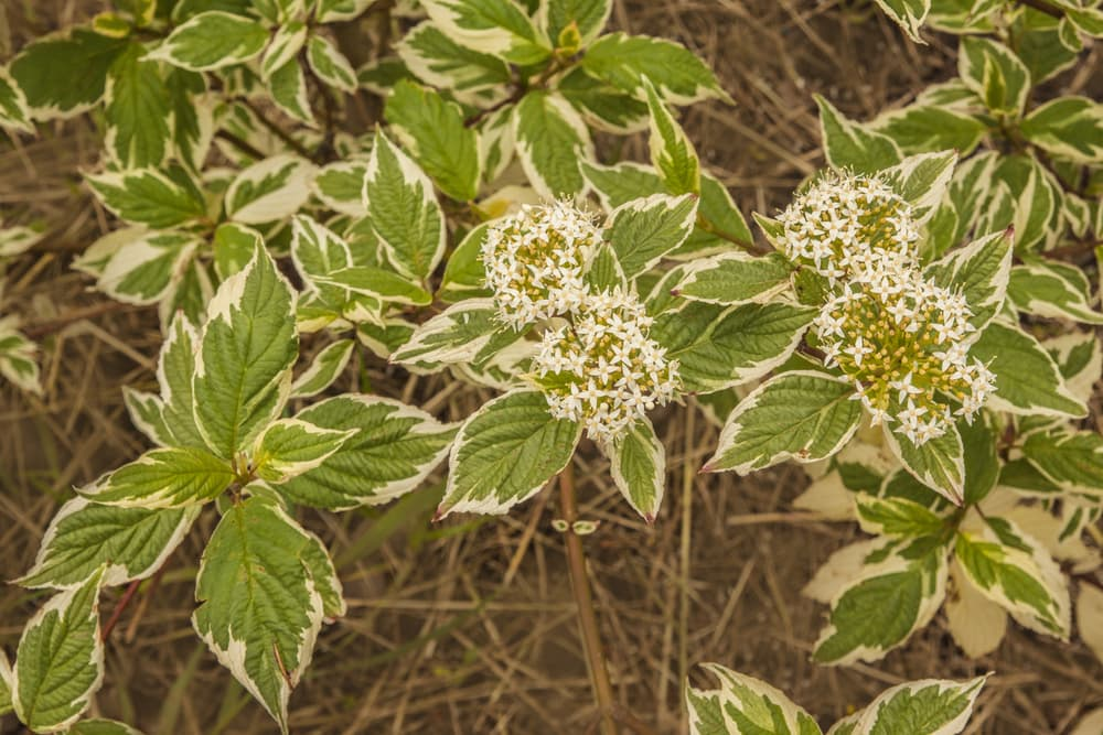 white dogwood shrub up close