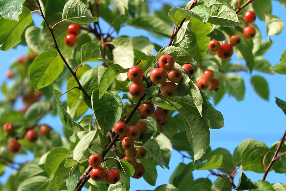 small crab apples on a branch