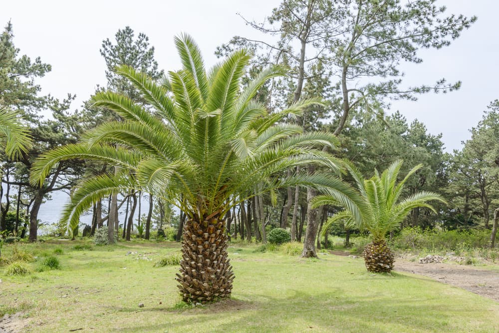 Phoenix canariensis in various stages of growth