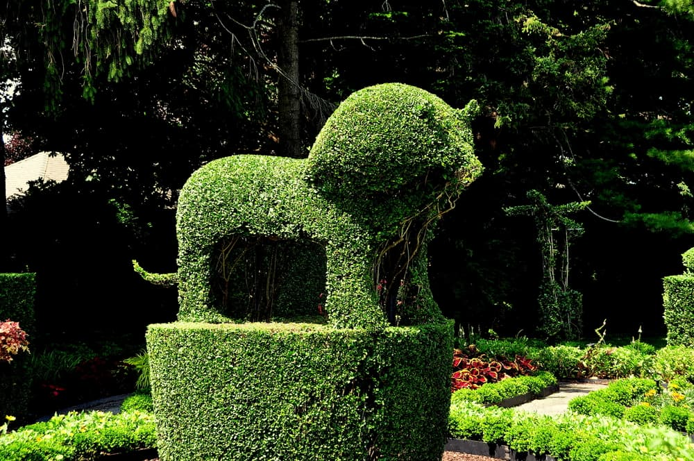 a topiary lion made with English Privet