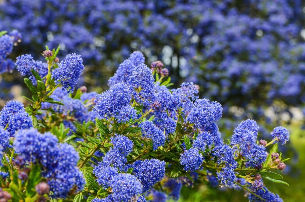 blue flowers of ceanothus