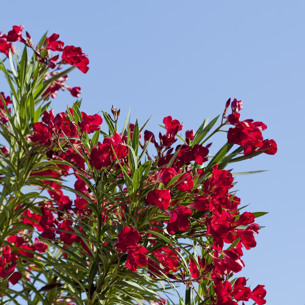 Hardy Red Oleander with a clear blue sky in the background