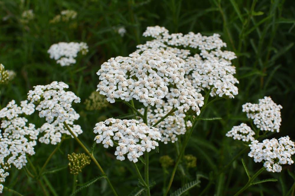 white Achillea blooms amongst overgrown grass