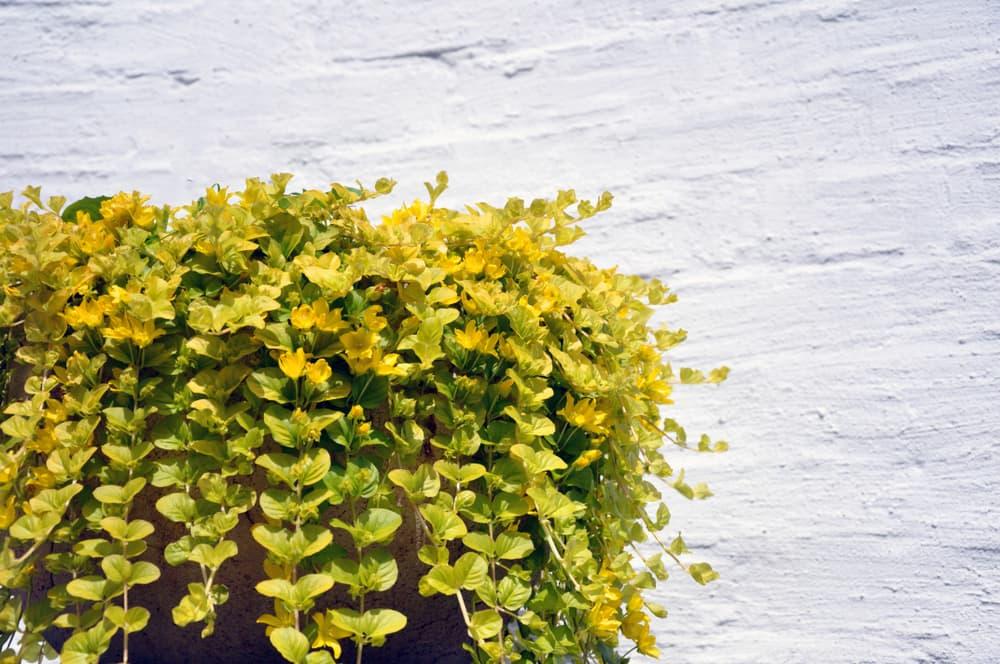golden creeping jenny plant in a pot against a brick wall backdrop