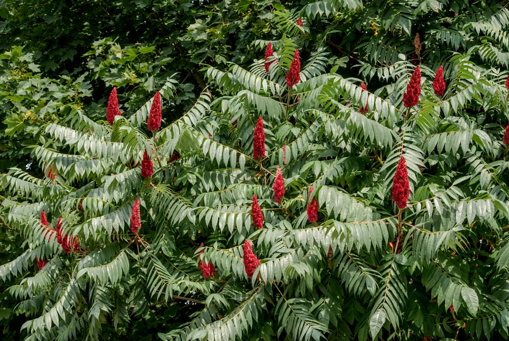 upright red flowers of stag's horn sumach