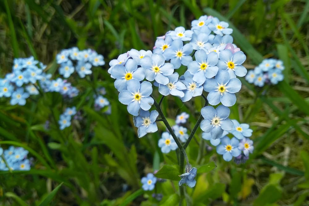 light blue flowers of forget-me-nots