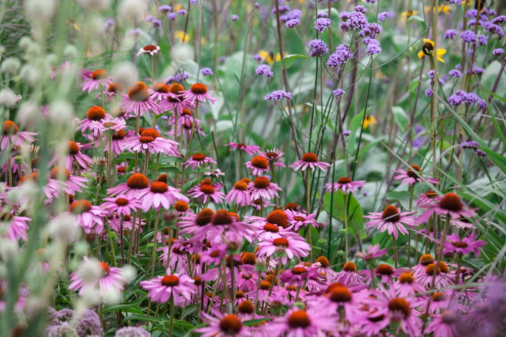 Echinacea purpurea and other wildflowers in a field