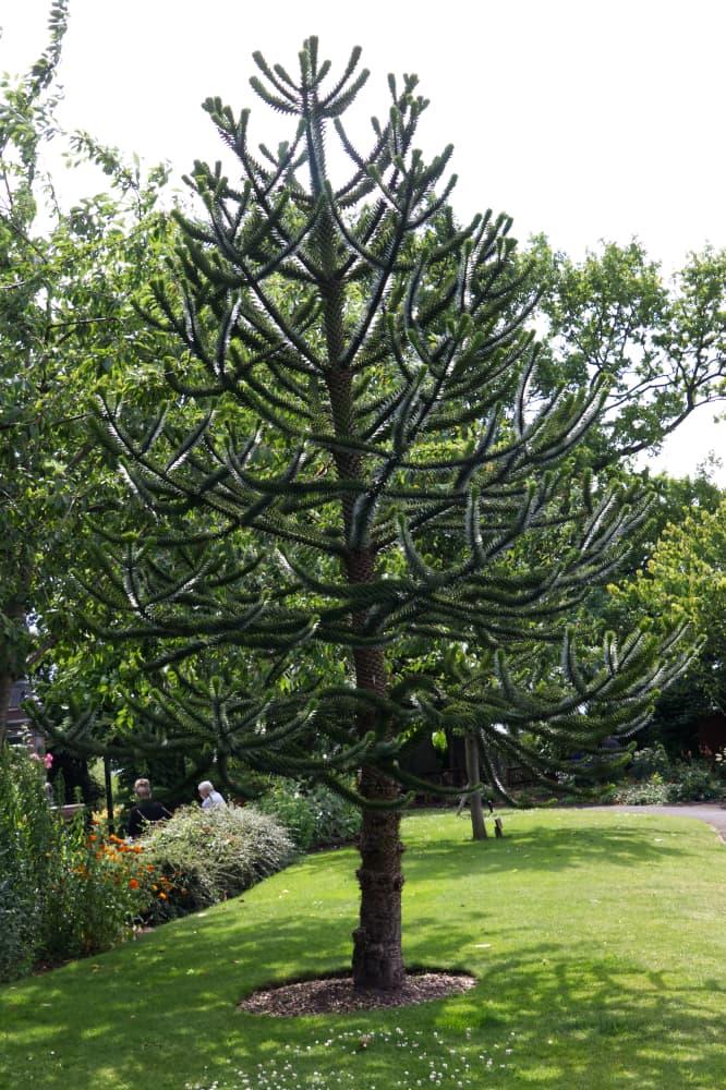 a large monkey puzzle tree