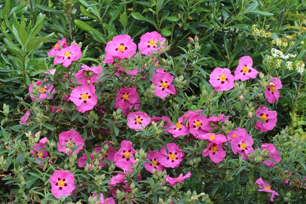 pink Cistus purpureus flowers