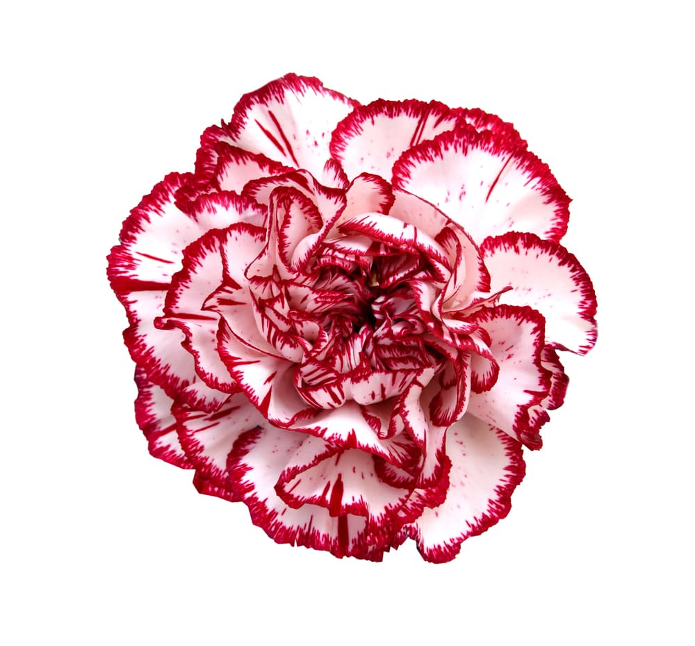 red and white carnation flower isolated on a white background