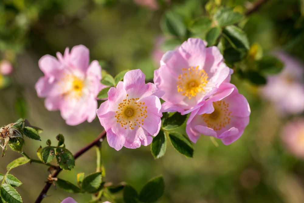 pink dog rose flowers