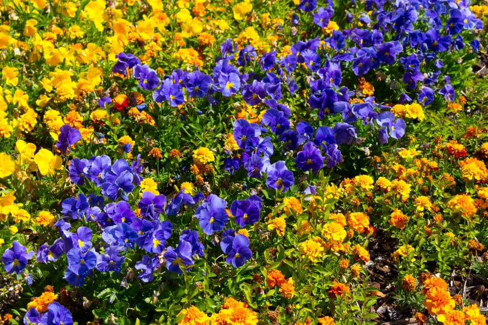 a mix of pansies, petunias, violas, marigolds and other flowers