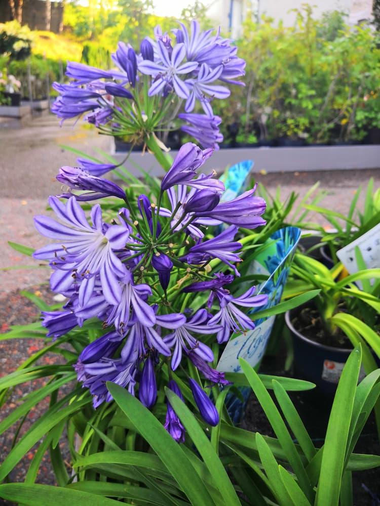 flowering Camassia leichtlinii in a garden centre