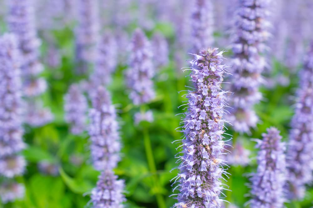 upright blooms of Agastache 'Blue Fortune'