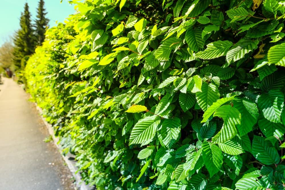 a large hornbeam hedge