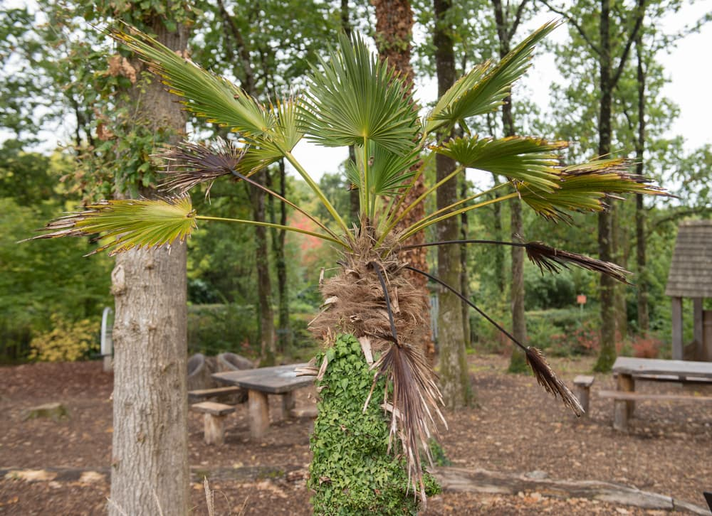 dwarf chusan palm in a forest clearing