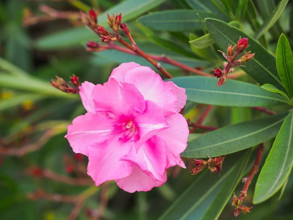 deep pink flowers of Nerium splendens Oleander