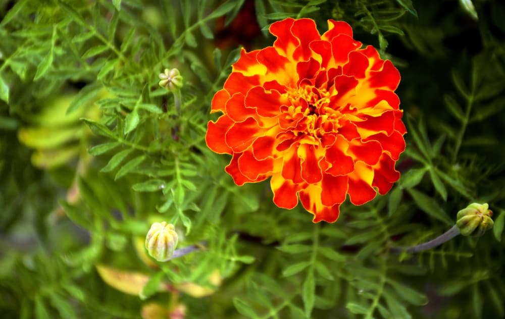 an orange and yellow french marigold flower in focus