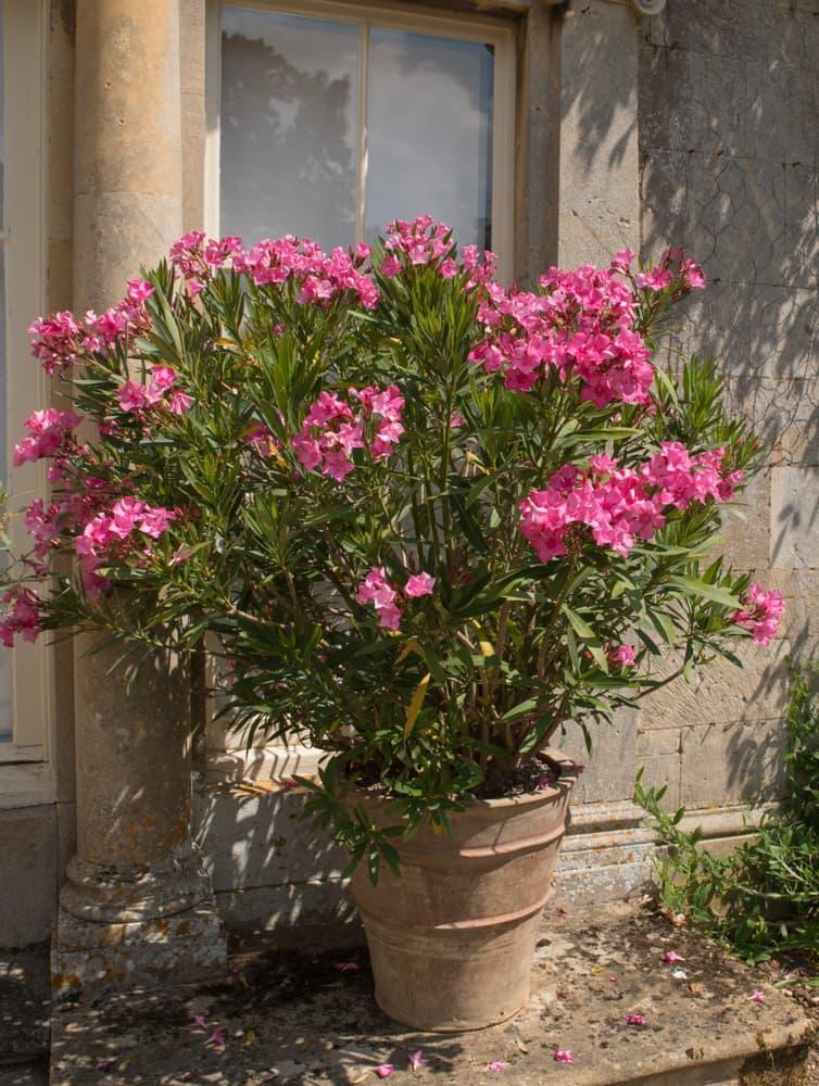 oleaner plants in a terracotta pot on a terrace