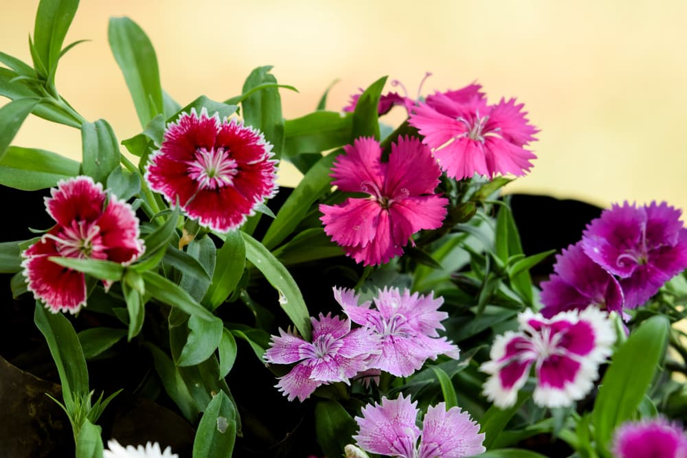 varied types of dianthus flowers growing together