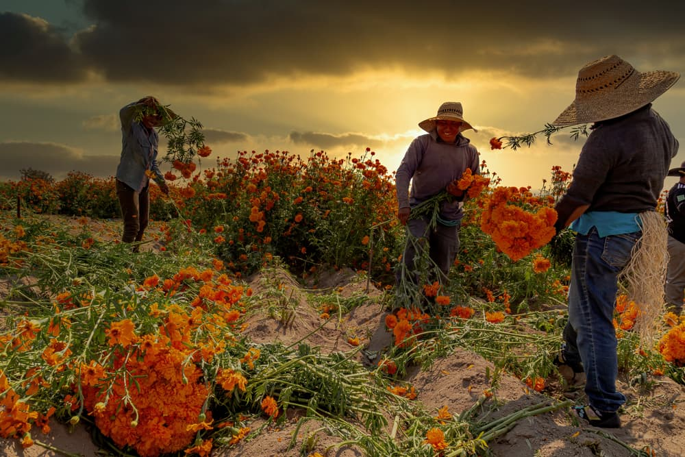 farmers collecting tagetes on a cloudy day