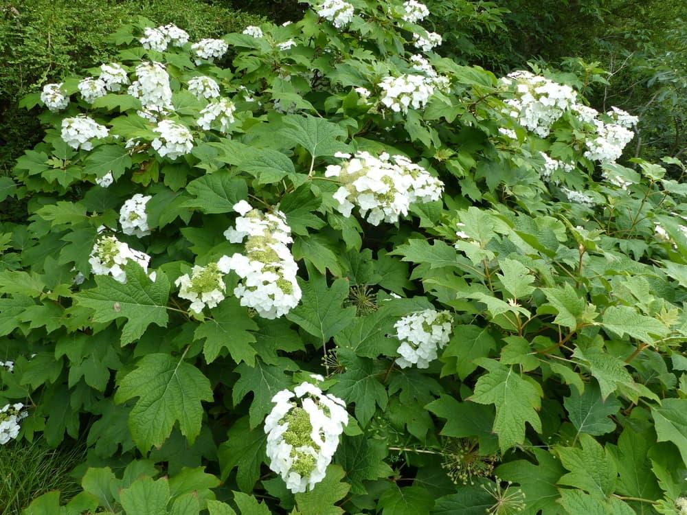white blooms of hydrangea quercifolia