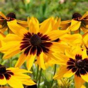 flowering black eyed susan