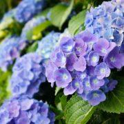 dark blue hydrangea blooms