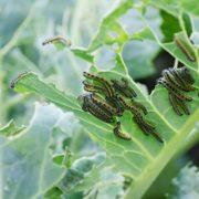 caterpillars eating through white cabbage leaves