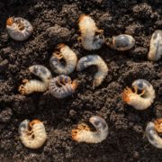 white chafer grubs against a background of compost