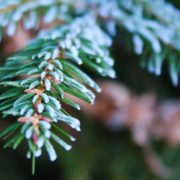 frost covering the green needles of a coniferous tree