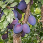 damson fruits ripening on tree branches