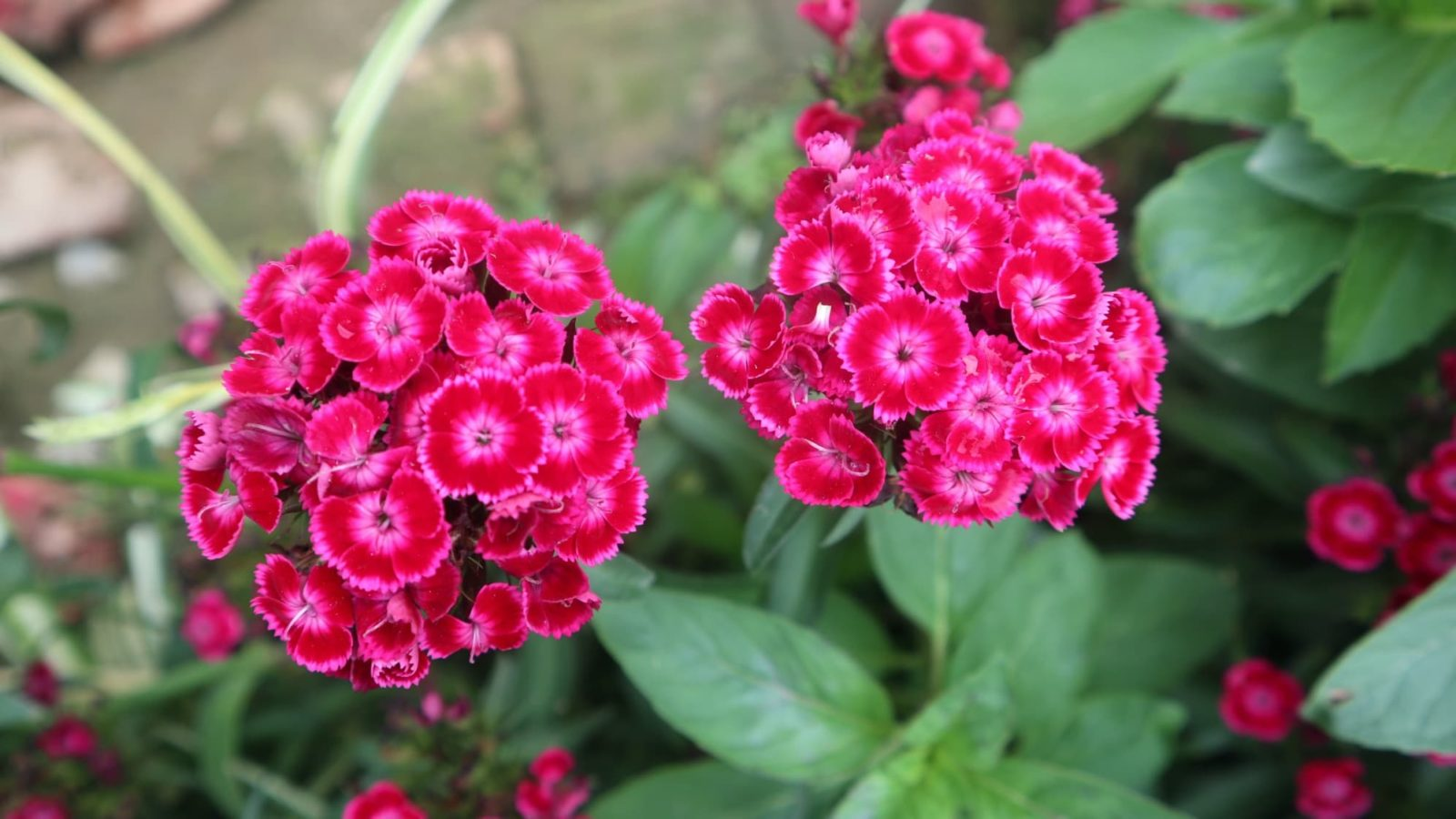 deep red and pink coloured dianthus in a garden border