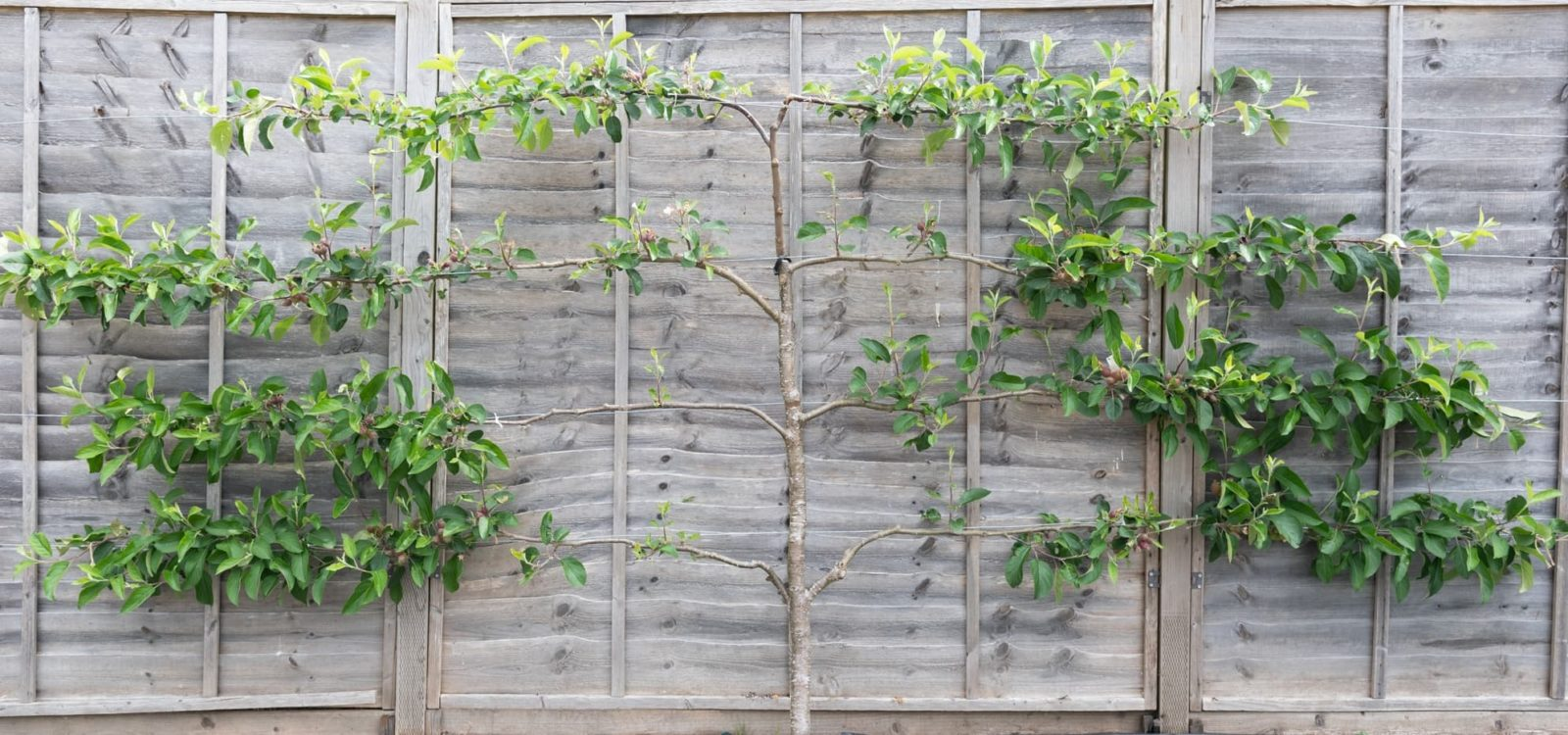 an espalier fruit tree trained against a grey fence
