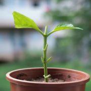 a hydrangea cutting growing from a terracotta pot