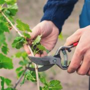gardener pruning currant bushes