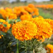 yellow blooming marigolds in a field