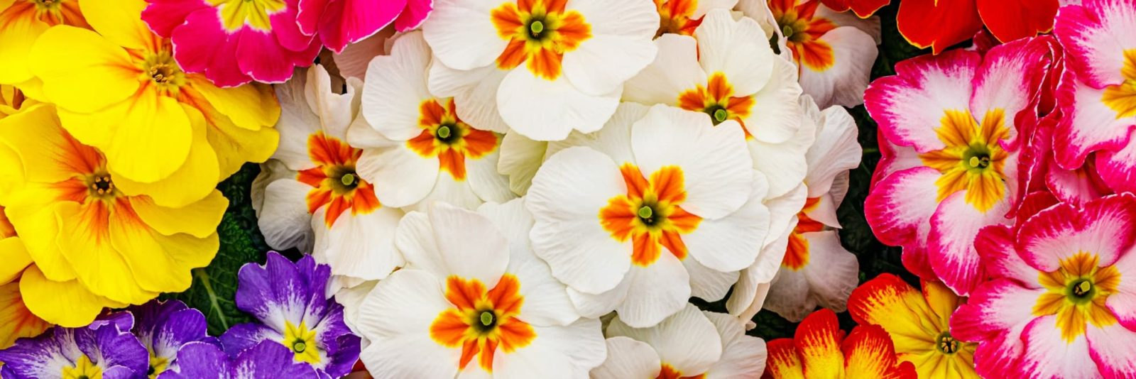 primrose flowers in pink, white, yellow and purple