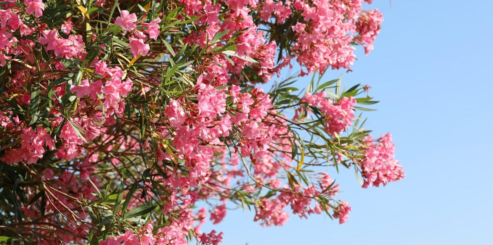huge flowering oleander plant with pink blooms