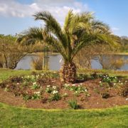 phoenix palm in an English park