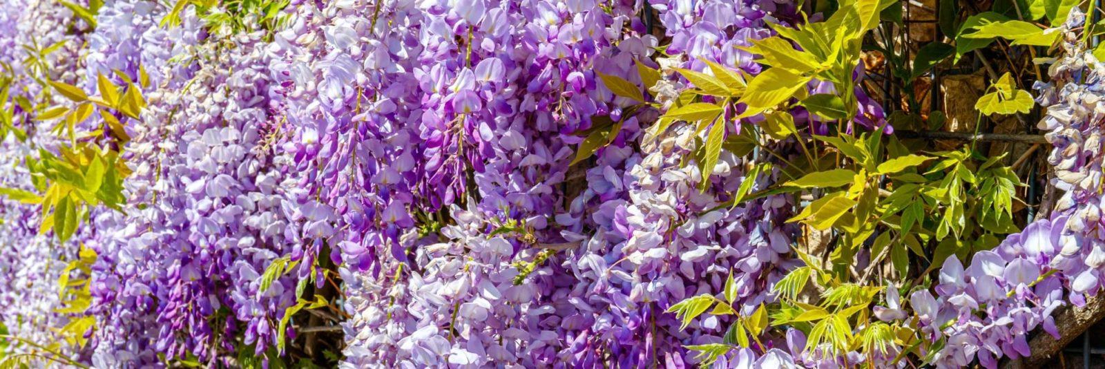 purple flowering wisteria tree in a garden