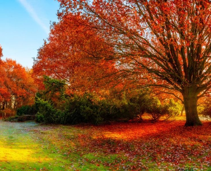 a large oak tree whose leaves have turned red in autumn
