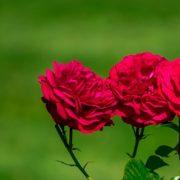 three red roses in focus