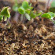 Sinopsis Alba seedlings growing in peat moss